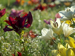 LILIEN (hlh 1960) Tags: lilien blumen flower summer sommer bokeh licht light farben bunt colour gras nature natur outdoor weis white gelb yellow