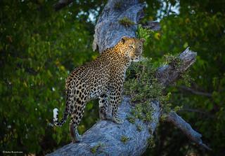 Male leopard on a tree trunk