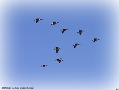 canada geese ahp (Kens images) Tags: canada geese flight nature wild beautiful composition focus direction