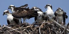 Osprey birds -  Fort Monroe Va (watts_photos) Tags: osprey birds fort monroe va bird ospreys raptor raptors nature wildlife chicks fledgling white brown