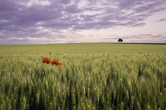[Explored July 01, 2018 n°8] Standing above (Tekila63) Tags: cereales limagne auvergne blé culture poppies coquelicots wheat