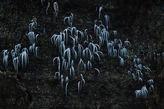P7030899 Deflexula fascicularis. (razor4343) Tags: deflexulafascicularis deflexula arffungi arfp qrfp tropicalarf cheepickcairns pterulaceae largegroupoffungi icicles