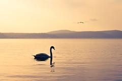 Swan Lake (Japo García) Tags: swan lake sunset golden hour cisne lago japo garcía japophoto nikon bracciano calm pace