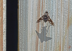 Tiger bee fly (jcdriftwood) Tags: tigerbeefly fly xenoxtigrinus bombyliidae shadow summer wood winged wings spotted woodgrain landed lit gate