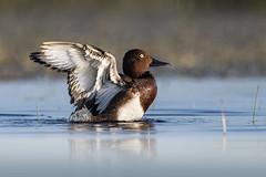 Ferruginous Duck (Bill Richmond) Tags: ferruginousduck aythyanyroca divingduck wildfowl nikond500 nikon500f4 nikon14xconverter