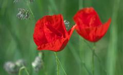22. Mai 2018: Mein geliebter Klatschmohn (Gertraud-Magdalena) Tags: frühling mai bergheim klatschmohn mohn mohnblumen rot red rosso