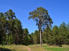 Mushroom-shaped pine (МирославСтаменов) Tags: russia togliatti pine tree forest edge