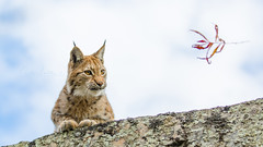 Focus (CecilieSonstebyPhotography) Tags: catfamily eurasianlynx lynx concentrated endangered closeup cat focus canon animal norway markiii gaupe langedrag canon5dmarkiii ef70200mmf28lisiiusm playful female specanimal ngc