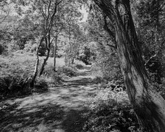 Tree and Path in Light and Shadow (Hyons Wood) (Jonathan Carr) Tags: ancient woodland rural northeast black white bw monochrome landscape 4x5 5x4 walkertitansf largeformat