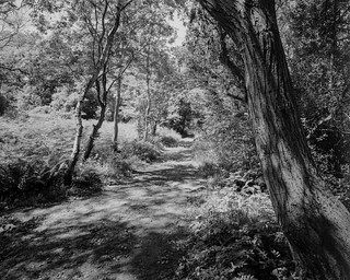 Tree and Path in Light and Shadow (Hyons Wood)