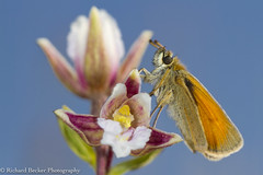 Small Skipper (Richard Becker Photography) Tags: