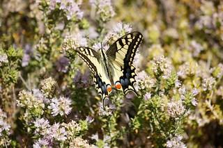 El macaón o mariposa rey ... Papilio machaon .... es una de las mariposas más espectaculares que tenemos por Andalucía. Existen multitud de especies muy bonitas, pero por su tamaño, colorido y formas ésta es quizás una de las más vistosas.