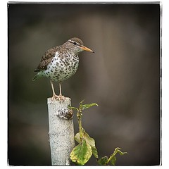 Spotted Sandpiper on tree stump. #photography #photooftheday #photoadaychallenge #canon7d #sigma150600 #nature #bird #opcmag #sandpiper #project365 #yyc #calgary