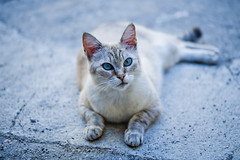 My travel mate! Be careful, he's watching you! (Luca Ricagni) Tags: lucaricagni ricagni wwwlucaricagniit luca nikon sigma105mm sigma105macro sigma sigma105 cat eyes blue animal blueeyes d700
