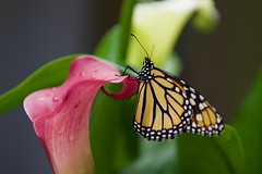 Welcome to my World! (ineedathis, Everyday I get up, it's a great day!) Tags: monarch newborn butterfly life callalilies flowers southafrica zantedeschiaaethiopica exotic tropical insect πεταλουδα λεπιδοπτερα lepidoptera love female danausplexippus closeup nature garden summer black yellow nikond750 wings milkweed plant leaves green orange white balck