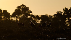 Sunrise Roos (The Gullet) Tags: morning sunlight backlit goldenhour kangaroo mob silhouette aldingascrub southaustralia nikon d500 winterwarmth