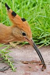 Fresh breakfast (Ma3eN) Tags: bird hoopoe worm dubai uae 2018