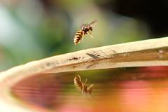 Wasp reflection (the.haggishunter) Tags: nature wildlife insect wasp water