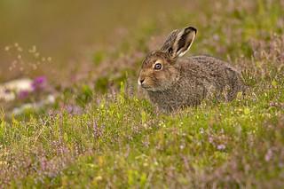 Mountain Hare Leveret (Lepus timidus scoticus)