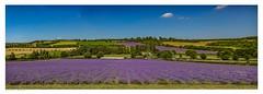 Lavender Field Panorama near Eynsford in the Darenth Valley, Kent. (Richard Murrin Art) Tags: lavenderfieldpanneareynsfordinthedarenthvalley kent england sky field lavender richard murrin art