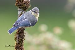 Mésange bleue (sfrancois73) Tags: oiseau faune mésangebleue affût drinkstation jardin