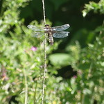 Broad-Bodied Chaser P1890738 thumbnail