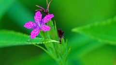 Deptford Pink (Dianthus armeria), Hartley Nature Center - Duluth MN USA, 07/19/18 (TonyM1956) Tags: elements tonymitchell minnesota nature stlouiscounty hartleynaturecenter duluth deptfordpink dianthusarmeria sonyalphadslr macrounlimited sonyphotographing