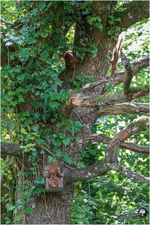 Au jardin (écureuil roux (3))