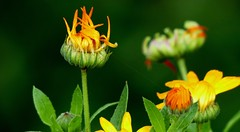 Spider Silk on Flowers - Castle garden - Western Himalayas ~1850m Alt (forest venkat) Tags: flower macro butterfly garden plant