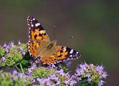 Distelfalter (anubishubi) Tags: falter tagfalter edelfalter schmetterling butterfly insekt insect pentaxk100dsuper