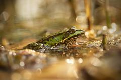 Common Water Frog (Rana esculenta) (Stefan Zwi.) Tags: teichfrosch frog frosch wasser reflexion reflection bokeh light licht animal pond sea teich see macro makro ngc npc
