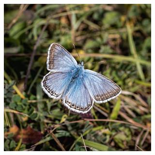 Day 202/365  Chalkhill Blue