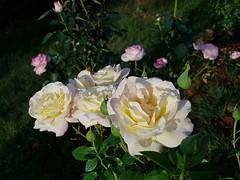 Dans le jardin (Marvinette (passe en free)) Tags: rose roses jardin garden plant plants plante roseraie rosier france limousin hautevienne nature flore fleur fleurs flower flowers macro yellowrose jaune
