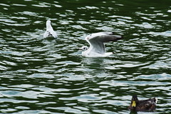 DSC_0840 (PeaTJay) Tags: nikond750 reading berkshire naturereserve dintonpastures lakes water gardens flowers plants trees bushes birds gulls geese ducks swans