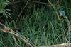 3 Kingfishers (Rods Kingies) Tags: ijsvogel halcyon kingfisher eisvogel alcedoatthis birds birdsinflight diving fish electricblue martinpêcheur vogel fugl tier iridescent river lake canal animal bird wasser water nature fauna wild wildlife rodskingies natur glück bluebirdofhappiness bluebird freude entspannung uk britain green blue fisch taucher räuber orange tree alcedines alcededoj alcedinidae alcédinidés martinspêcheurs martinschasseurs martinespescadores alciones martines martinpescatore malachietijsvogel