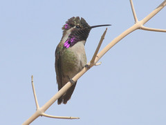 Costa's Hummingbird -- Male (Calypte costae); Catalina, AZ, [Lou Feltz] (deserttoad) Tags: nature animal bird wildbird wildlife hummingbird tree desert arizona shrub bloom flower