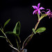 [Brazil] Cattleya violacea (Kunth) Lindl., Gard. Chron. 1842: 472 (1842)