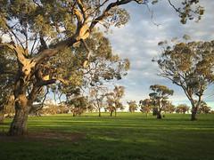 "Australian trees (Mario Graziano) Tags: nofilter nofilterneeded nofilters australia ""south australia"" victoria alberi trees outback entroterra backofbeyond bush"
