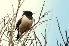 Rosy Starling..........Pastor roseus (gus guthrie1) Tags: rosystarling migrant pink starling rare rarity aberdeenshire scotland adbc bird plumage coast feather