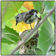 Blue gray gnatcatcher Dad doing nest duty (RKop) Tags: d500 nikkor600f4evr 14xtciii raphaelkopanphotography grandvalleypreserve ohio warblers warbler wildlife