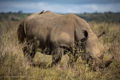 Outskirts of Nairobi, Kenya (Catherine Gidzinska and Simon Gidzinski) Tags: 2017 africa eastafrica kenya nairobi nairobinationalpark rhino ngc blackrhino wildlife wildlifephotography