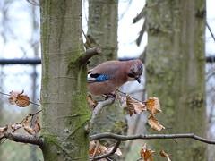 Eurasian jay - Spying on me again (Rasenche) Tags: landgoedhoenderdaell animal eurasian jay bird garrulusglandarius garrulus annapaulowna