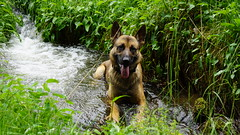 DSC07397 (icycoldtouches) Tags: dog nature creek gsd