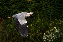 On Wing (willie485) Tags: duck ducklings mother heron flight river wildlife nature