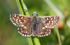 Grizzled (music_man800) Tags: grizzled skipper pyrgus malvae lepidoptera butterfly butterflies papillon insect wildlife nature natural reserve uk united kingdom essex langdon hills outdoors photography edit grass meadow macro canon 700d adobe lightroom sigma 150mm lens british may spring early summer papeur
