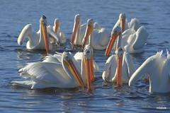 White Pelicans (miketabak) Tags: