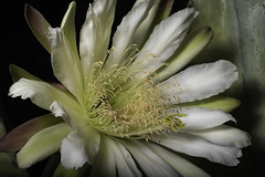 Early Morning Cactus Flower (Bill Gracey 19 Million Views) Tags: fleur flower flor floralphotography naturephotography macrolens macrophotography darkbackground yongnuo yongnuorf603n lastoliteezbox softbox nature cactusflower lakeside