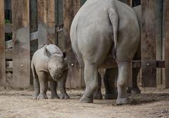 lulu stands guard - Cleveland Zoo (Tim Evanson) Tags: clevelandzoo clevelandmetroparks clevelandmetroparkszoo clevelandohio zoo dicerosbicornismichaeli easternblackrhino rhino blackrhino