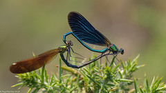 Shimmy (Paul:Ritchie) Tags: beautifuldemoiselle calopterygidae calopteryxvirgo crockfordstream damselflies england insecta insects newforest nikond90 odonata paulritchie sigma105mmf28macro zygoptera wwwhampshiredragonfliescouk