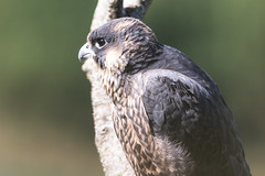 Peregrine Falcon (drbut) Tags: peregrinefalcon falcoperegrinus falcon birdofprey trees woods wildlife nature canonef500f4lisusm